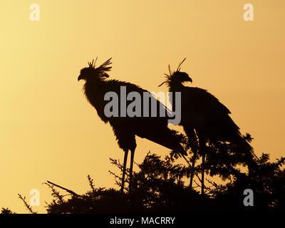 pair of secretarybirds or secretary bird (Sagittarius serpentarius)standing on acacia roost tree at dawn in the Masai Mara Conservancies,Kenya,Africa - Stock Photo