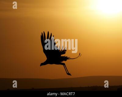 distinctive silhouette of secretarybird or secretary bird (Sagittarius serpentarius) flying down from roost tree at dawn in Masai Mara,Kenya,Africa - Stock Photo