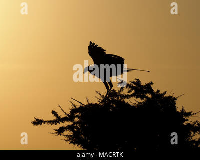 single secretarybird or secretary bird (Sagittarius serpentarius) spreading wings on roost tree at dawn in the Masai Mara Conservancies,Kenya,Africa - Stock Photo