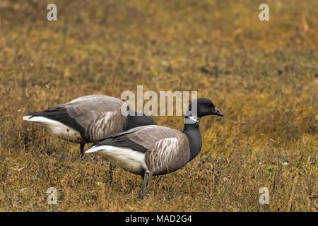 A pair of Brant Geese (Branta bernicla) grazing on the salt marshes at Stiffkey, North Norfolk, United Kingdom. - Stock Photo