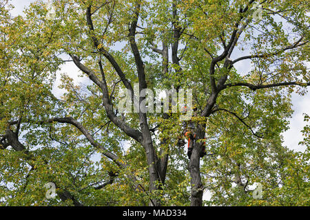 unknown man worker climber cuts off the tree dry branches by chainsaw - Stock Photo