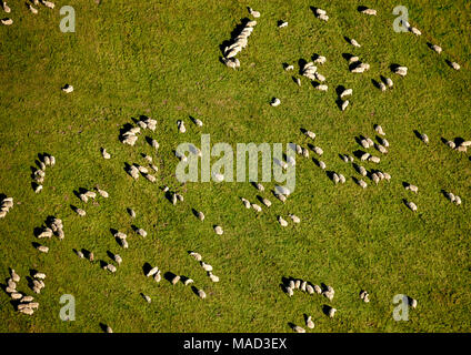 Aerial, sheep herd, Hemer, Ruhr, Nordrhein-Westfalen, Germany, Europe, birds-eyes view, aerial view, aerial photography, aerial photography, overview, - Stock Photo