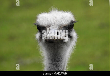 Ostrich - Stock Photo