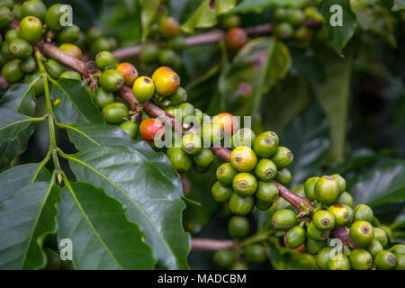 Many coffee beans in varying stages of ripeness cling to branch of healthy coffee plant.  Shallow depth of field draws attention to a few beans - Stock Photo