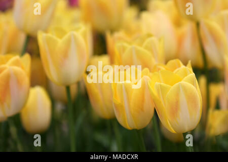 Tulips yellow close up horizontally . Macro. Blurring a background with the blossoming tulips. Liliaceae Family. Tulipa. - Stock Photo
