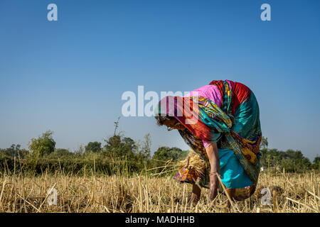 A lady working in field picking up pieces of grass having wheat grains , photo from village of India where still agriculture is done without machines. - Stock Photo