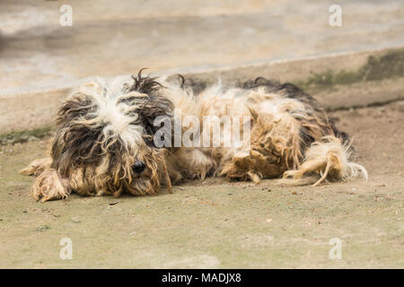 Cute havanese puppy looks dirty but happy, lay down on ground - Stock Photo