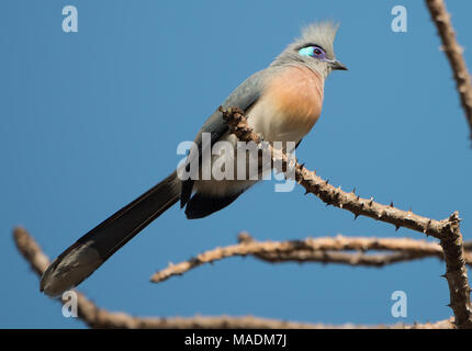 A Crested Coua (Coua cristata) high in a tree in Madagascar - Stock Photo