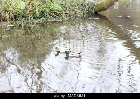 Water reflections from a tree, as a pair of Mallard ducks swim by in a pond at Southend on Sea, Essex, Uk. Waterfowl species : Anas platyrhynchos. - Stock Photo