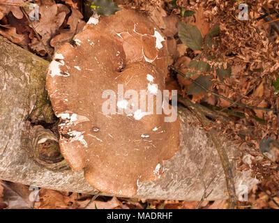large white and brown bracket fungus fungi growing on dead tree stump autumn; essex; england; uk - Stock Photo
