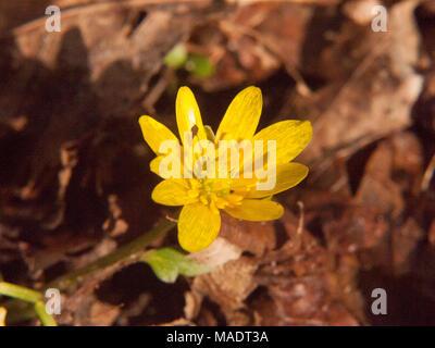 close up of yellow growing spring pretty flower floor - Ranunculus ficaria L. - Lesser Celandine; essex; england; uk - Stock Photo