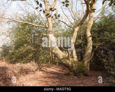 inside forest autumn spring dead foliage wood woodland uk nature landscape; essex; england; uk - Stock Photo