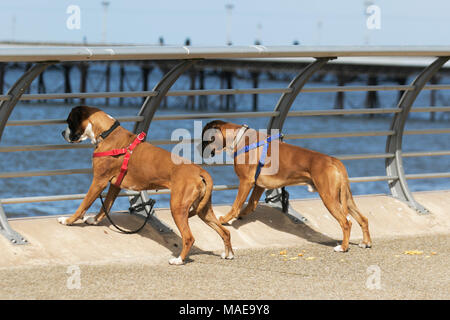Blackpool, Lancashire. UK Weather. 1st April 2018. Boxer dogs enjoying the view, on a cold, calm sunny day at the coast as holidaymakers arrive at the coast in hope of warm spring weather. Conditions are expected to worsen by early afternoon with rain and hail showers forecast. Credit: MediaWorldImages/Alamy Live News - Stock Photo