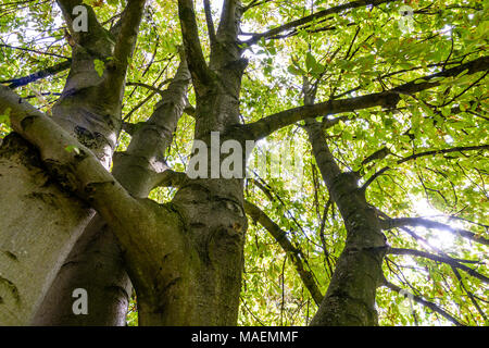 View from below of a horse chestnut tree with several trunks. - Stock Photo