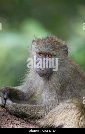 Close up portrait of Olive Baboon Papio cynocephalus anubis in undergrowth in Tanzania - Stock Photo
