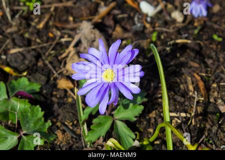 A single purple anemone blanda in an urban garden in early spring - Stock Photo