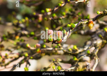 Tiny flowers on a branch of a European Larch bonsai tree that has been wired recently - Stock Photo