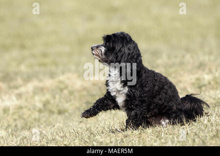 A little Havanese plays outside in the meadow - Stock Photo