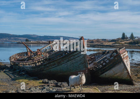 A sheep grazes in front of two abandoned fishing boats at Salen on the Isle of Mull - Stock Photo