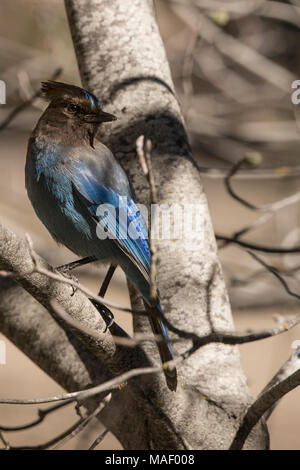 A Steller's Jay (Cyanocitta Stelleri) perches in the bare branches of a tree as it warms itself in the morning sun in early Spring. - Stock Photo