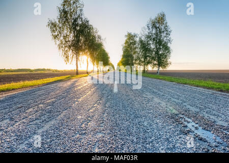 Asphalt road at sunset along the roadsides of which young birch trees grow - Stock Photo