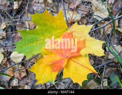 Two fallen autumn maple leaves lying on the ground - Stock Photo