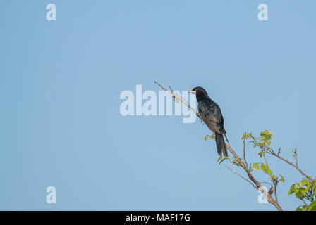 Bird: Male of Asian Koel Perched on a Branch. - Stock Photo