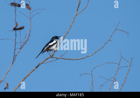 Portrait of a Oriental  Magpie Robin Perched on a Branch - Stock Photo
