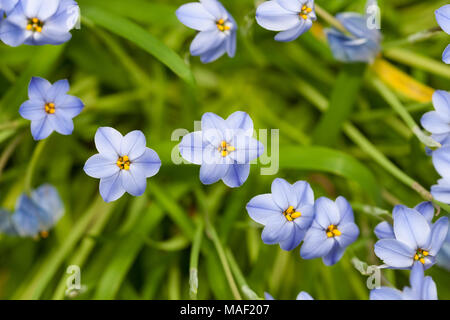 'Rolf Fiedler' Spring Starflower, Vårlilja (Tristagma uniflorum) - Stock Photo