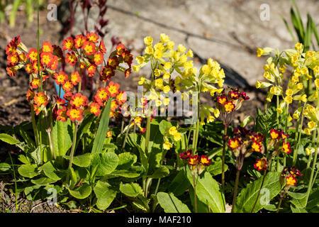 Common Cowslip, Gullviva (Primula veris) - Stock Photo