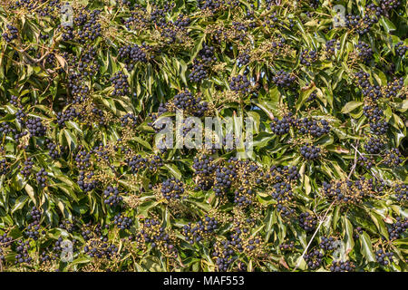 Clusters of ripe Common ivy Hedera Helix berries in sunshine - Stock Photo