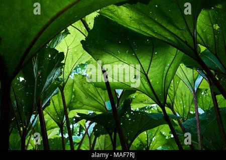 Burdock green leaves . Close-up, green plants. - Stock Photo