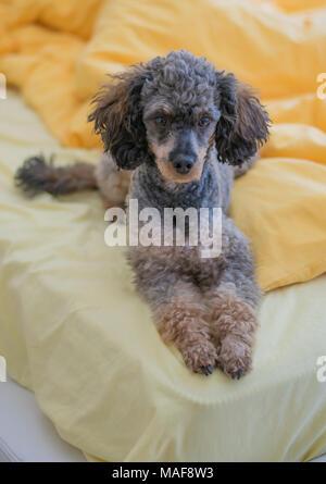 Sable phantom poodle Smoki laying gracefully on bed - Stock Photo