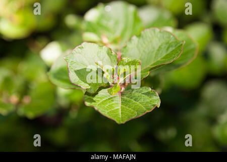 Japanese Knotweed, Parkslide (Fallopia japonica) - Stock Photo