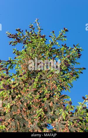 Purple-Coned Spruce, Kinesisk purpurgran (Picea purpurea) - Stock Photo