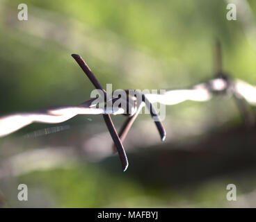 close up rusty and grunge barbed wire.blur background - Stock Photo