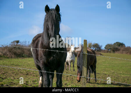 Black stallion behind barbed wire in a field with horses in the background and blue sky - Stock Photo