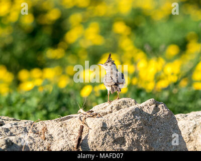 Crested Lark (Galerida cristata) perched on a rock against a backdrop of yellow wildflowers in Cyprus - Stock Photo
