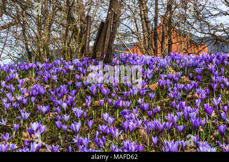 Crocus meadow (lat. Crocus napolitanus Murder Laun & Lois, C. Vernus Hill) in front of an orange building, Husum, Germany - Stock Photo