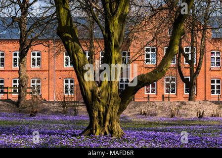 Tree surrounded by a carpet of purple crocuses (lat. Crocus napolitanus Murder Laun & Lois), Husum, Germany - Stock Photo
