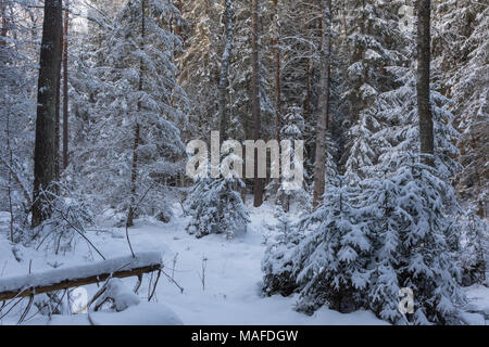 Winter landscape of coniferous stand in sunset light with young spruces snow wrapped,Bialowieza Forest,Poland,Europe - Stock Photo