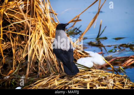Hooded crow stands in the thickets of dry sedge on the bank of the river (Corvus cornix) - Stock Photo