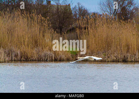 The beautiful swan runs off the water and continues to fly elegantly - Stock Photo