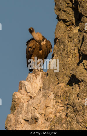 sitting Griffon vulture Gyps fulvus in Extremadura Spain Monfrague National Parc - Stock Photo
