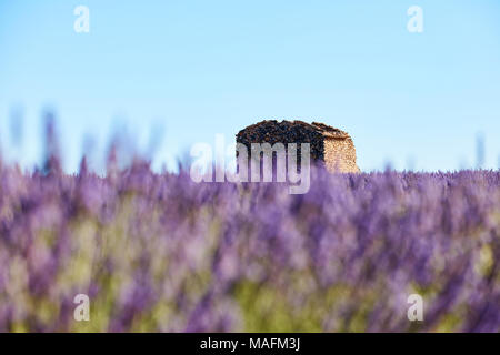 lavender flowers intentionally blurred in the foreground and an old ruin in the background - Stock Photo
