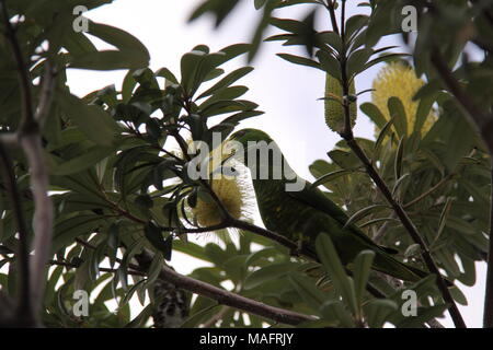 Scaly Breasted Lorikeet (Trichoglossus Chlorolepidotus) Feeding on Flowers of the Silver Banksia (Banksia Marginata) - Stock Photo