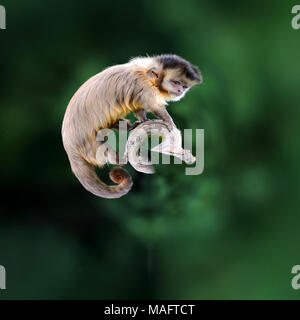 360 degree view of White capuchin monkey on a branch in nature - Stock Photo