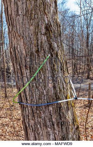 Plastic tubing used to tap and transport sap from a sugarbush in spring in Purple Woods Conservation Area Oshawa Ontario Canada - Stock Photo