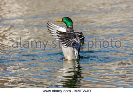 Male Mallard Duck (Anas platyrhynchos) flapping wings in  courtship display in spring - Stock Photo