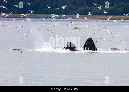 Humpback Whales Bubble net feeding - Stock Photo